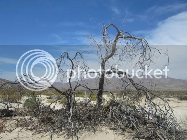 Dead Desert Willow photo AnzaBodeadtree_zps84542f22.jpg