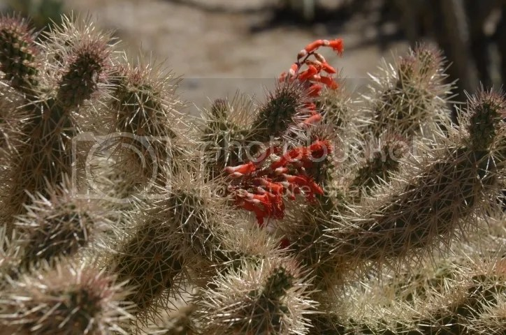 Ocotillo in cholla photo DSC_0231_zpsmmwst3rm.jpg