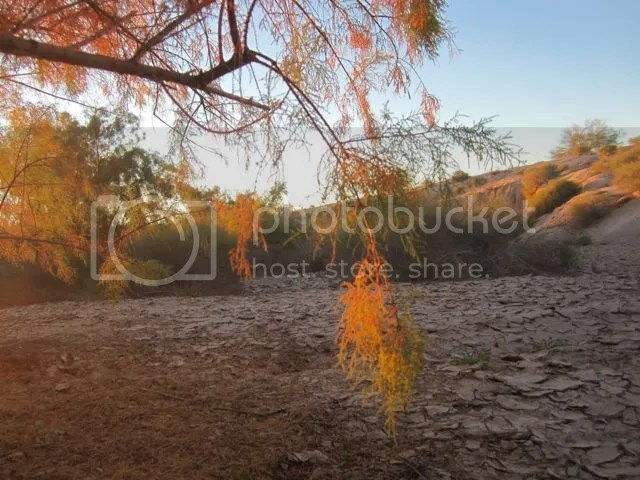 Glowing tamarisk photo IMG_6445glowingtamarisk_zpse7135030.jpg
