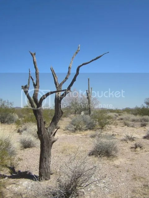 Skeleton tree and saguaro photo Kofadeadtree_zps3932efeb.jpg