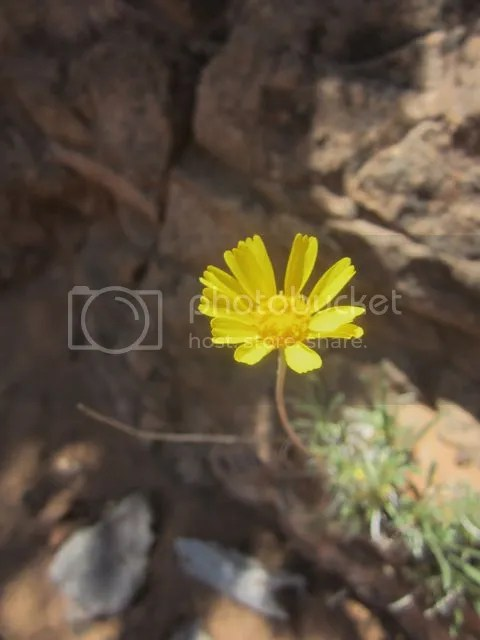 Desert Sunflower.Navajo National Monument photo Navajodesertsunflower_zpsa9228f6a.jpg