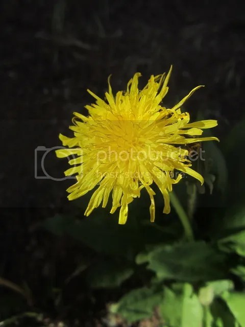 Dandelion photo NorAZMay2012200.jpg