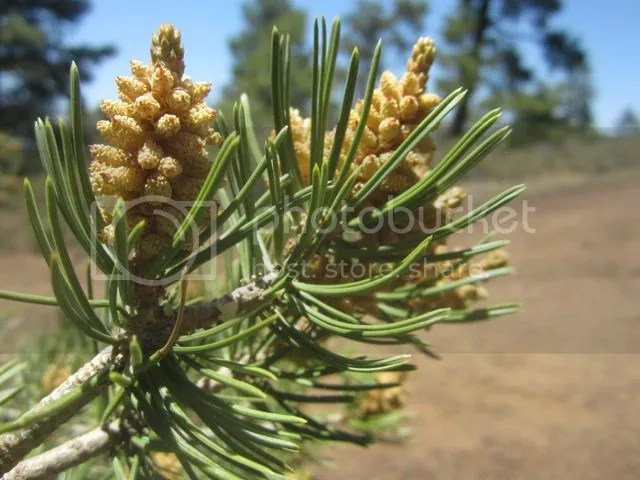 Pine candles at Sunset Crater photo Sunsetpinecandle_zps1f807def.jpg