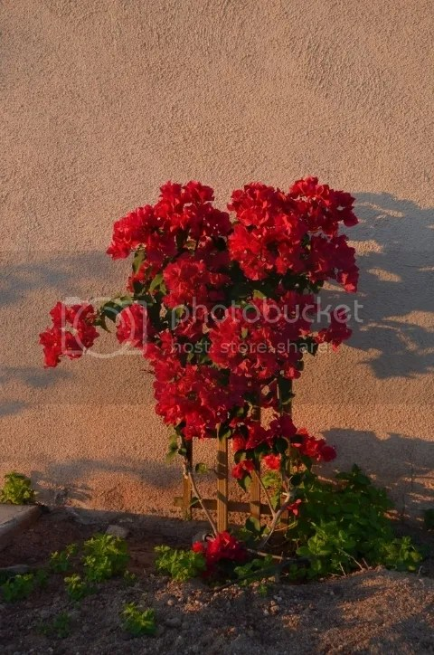 Bougainvillea at daybreak photo DSC_0255_zpsctuxury9.jpg
