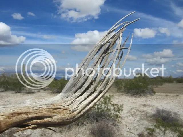 Maricopa County.saguaro bones photo Maricopasaguarobones_zpsf8e0a3dd.jpg