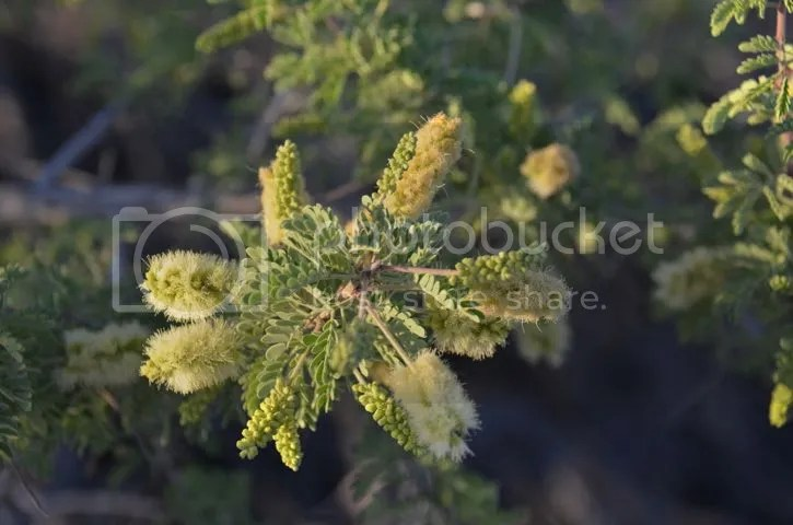 Mesquite blossoms photo Sonoran.mesquitebloom_zpsdxtpfss9.jpg