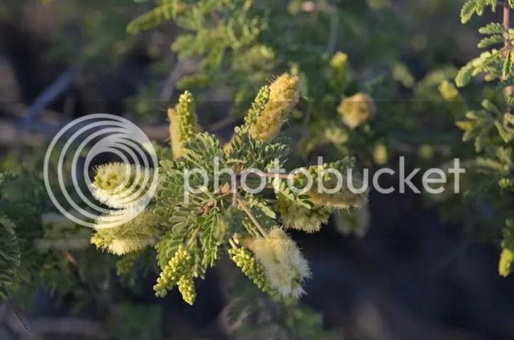Mesquite blossoms photo Sonoran.mesquitebloom_zpsdxtpfss9.jpg