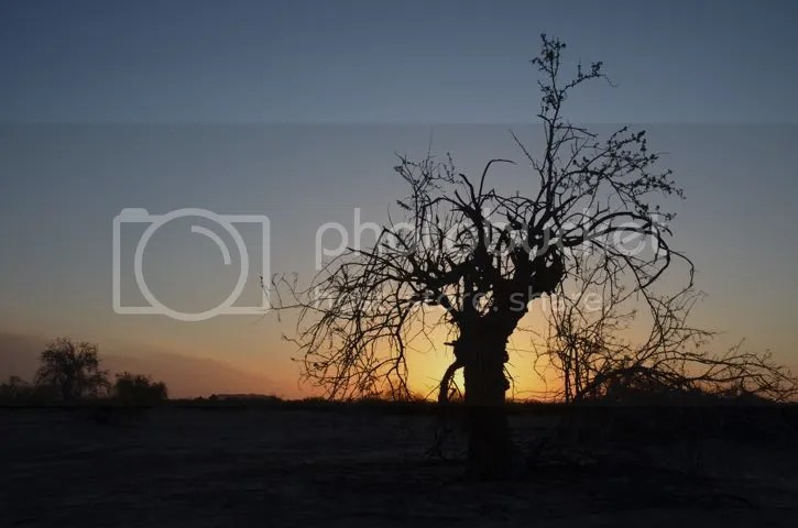 Ironwood silhouetted at dawn photo Sonoran.silhouette_zpsksz7wtgm.jpg