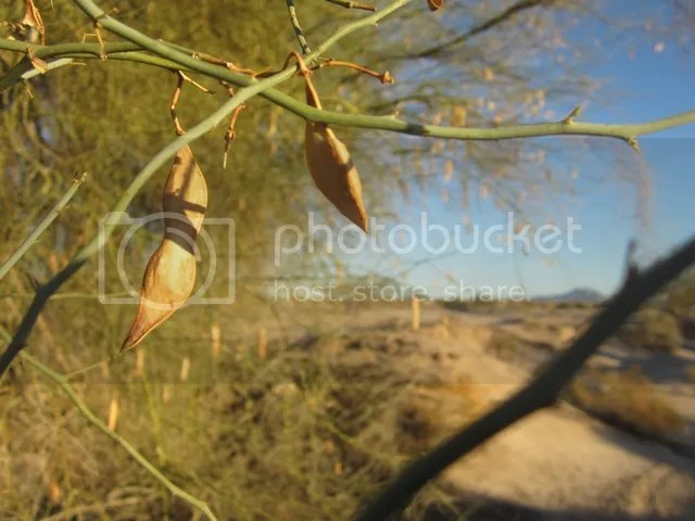 Palo verde tree photo SonoranFeb2013449a_zps9a61ca3a.jpg