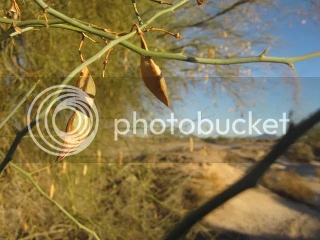 Palo verde tree photo SonoranFeb2013449a_zps9a61ca3a.jpg