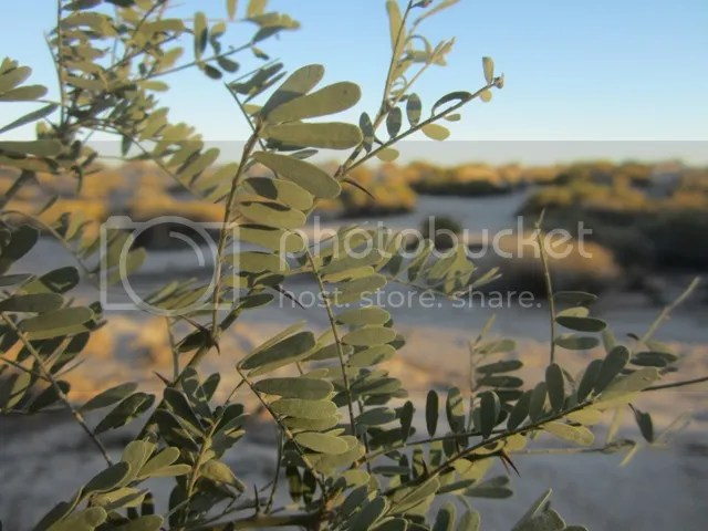 Mesquite leaves photo SonoranFeb2013499a_zpsf04c4a8a.jpg