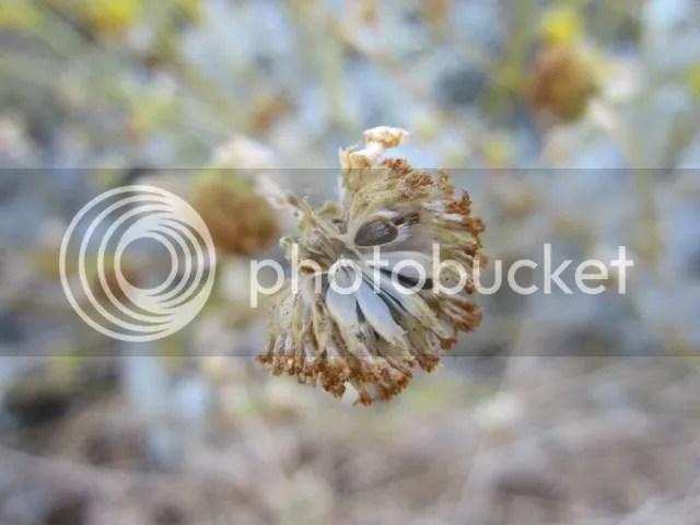 Brittlebush flower seedhead photo SonoranMar20134152a_zps8956b4aa.jpg