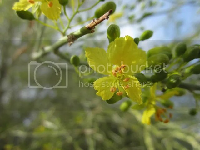 Palo verde blossom photo SonoranMar20135370a_zps17a736cd.jpg