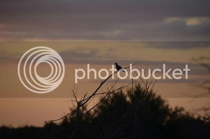 Dove at daybreak photo Sonorandove2_zps90d7b1db.jpg