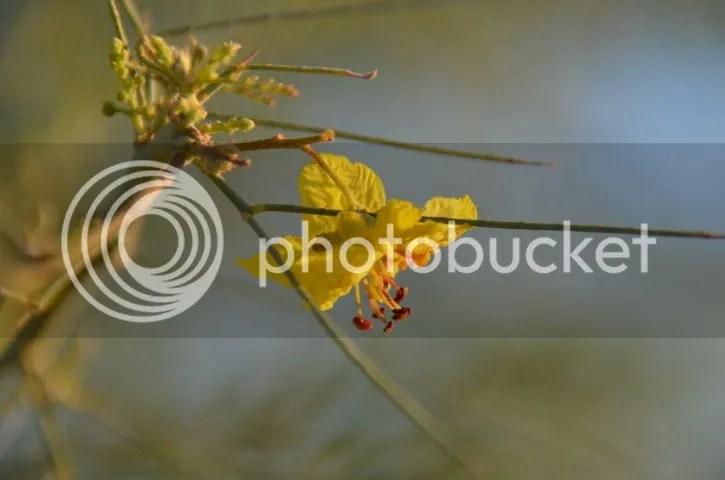 First palo verde blossom 2015 photo Sonoranfirstpalobloom_zps1d81b379.jpg