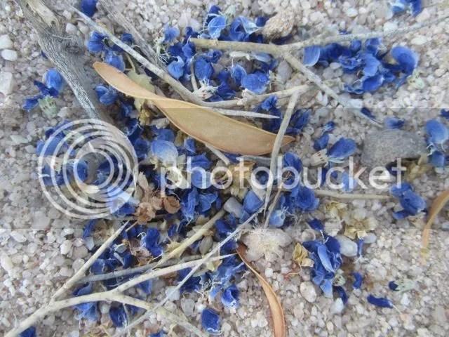 Fallen indigo bush blossoms photo Sonoranindigofallen_zpse06a7309.jpg