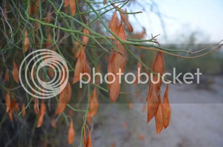 photo Sonoranseedpods_zpsbb233b43.jpg