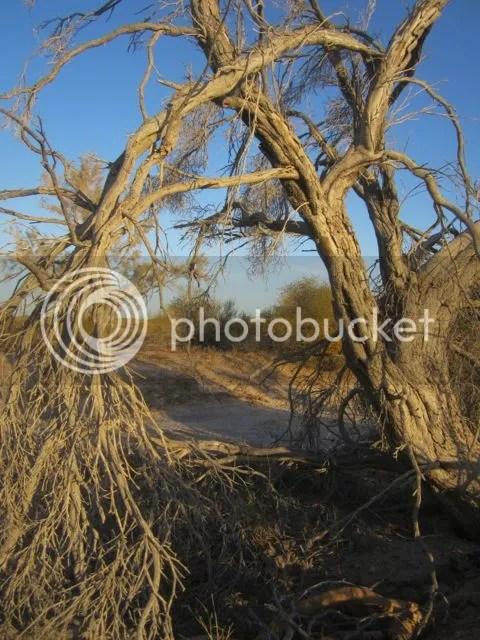 Dead Indigo Bush photo deadindigobush_zps27ada9ce.jpg