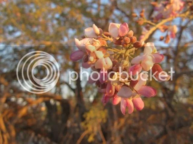 ironwood blossoms photo ironwoodblossom_zpsaf2dd724.jpg