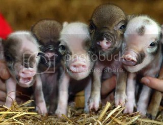 pig Pictures, Images and Photos