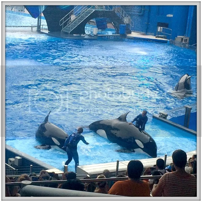 Since the Shamu show and Orca program is being discontinued, it was our last chance to see these majestic creatures up close at Seaworld.
