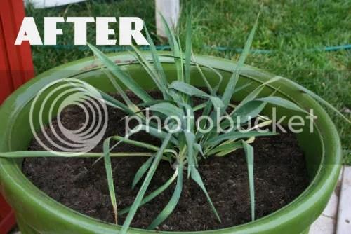 Replanting Yucca plant 4