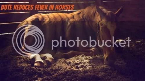 bute horse medication