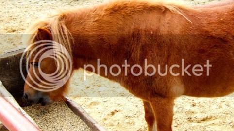 horse ulcer symptoms diet of grain is not good