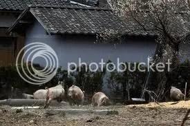 Sok ezer háziállat kiirtására készül a japán kormány