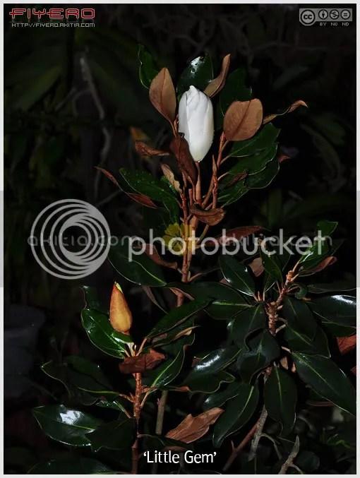 ลิตเติ้ลเจม, Little Gem, แมกโนเลียแกรนดิฟลอร่า, แมกโนเลียใหญ่, แมกโนเลียดอกใหญ่, Magnolia grandiflora, ไม้ดอกหอม, ไม้ดอก, ไม้ประดับ, ต้นไม้, ดอกไม้, aKitia.Com