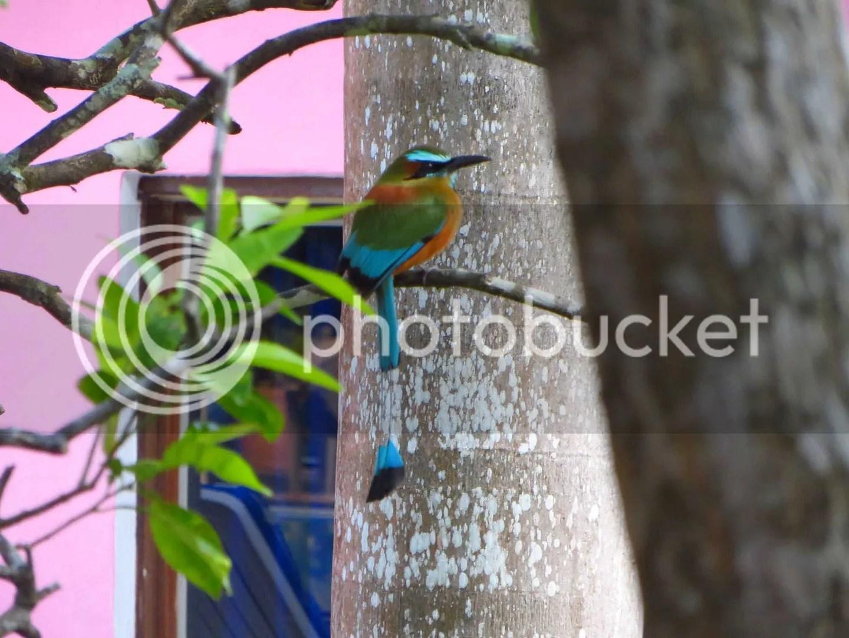 Bird of Paradise - tick tock tail