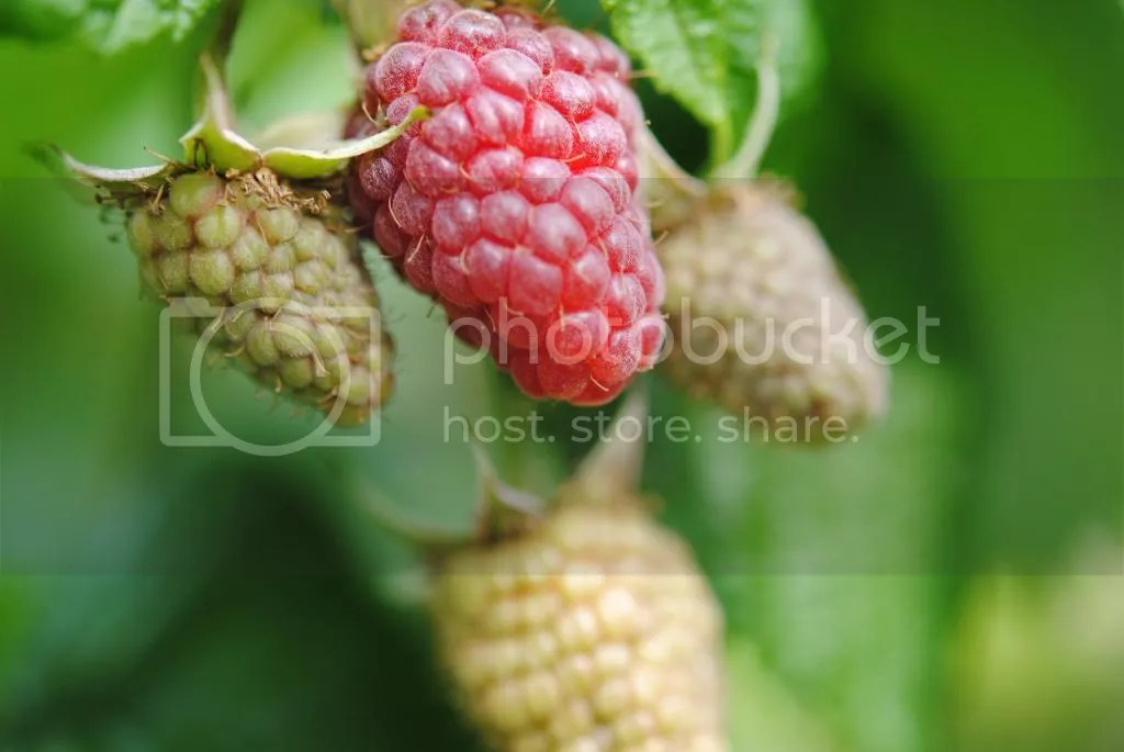 raspberry photo: Raspberry DSC_0395_zpsce0879a6.jpg