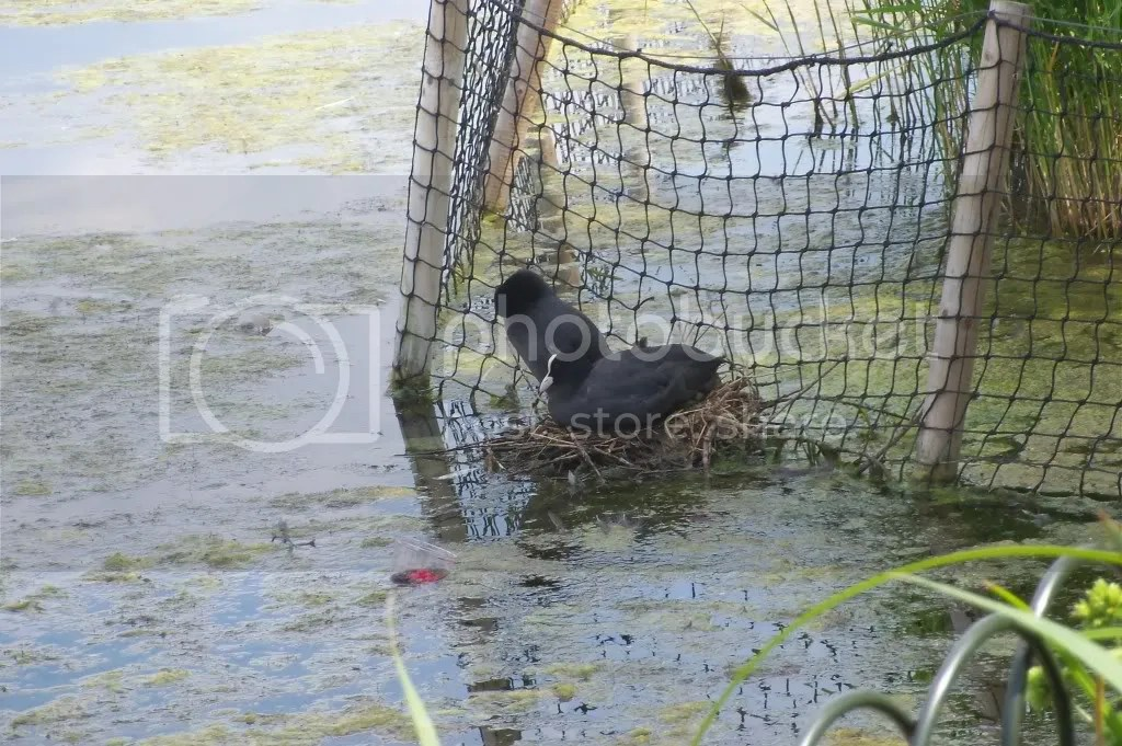 Nesting coots