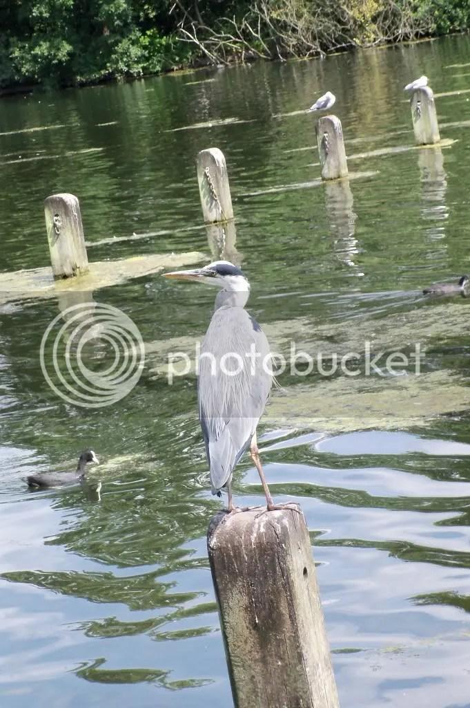 Grey Heron & Seagull