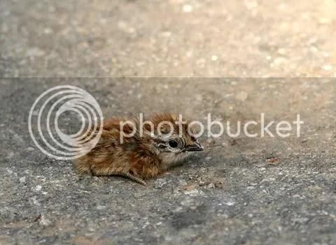 bby quail eye 140511 kbni