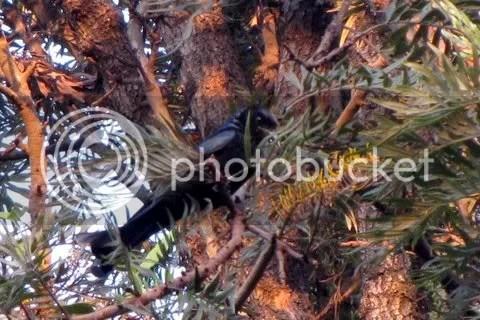 spangled drongo cubbon park 150311