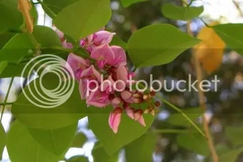 Milletia ovalifolia (Moulmein Rosewood)