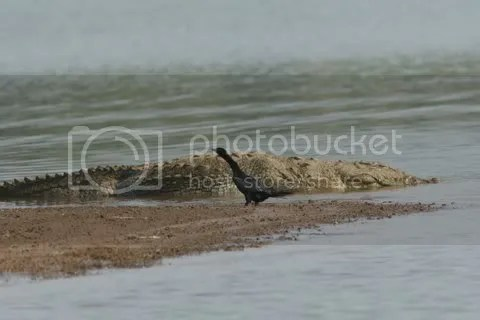 croc and cormorant 150511