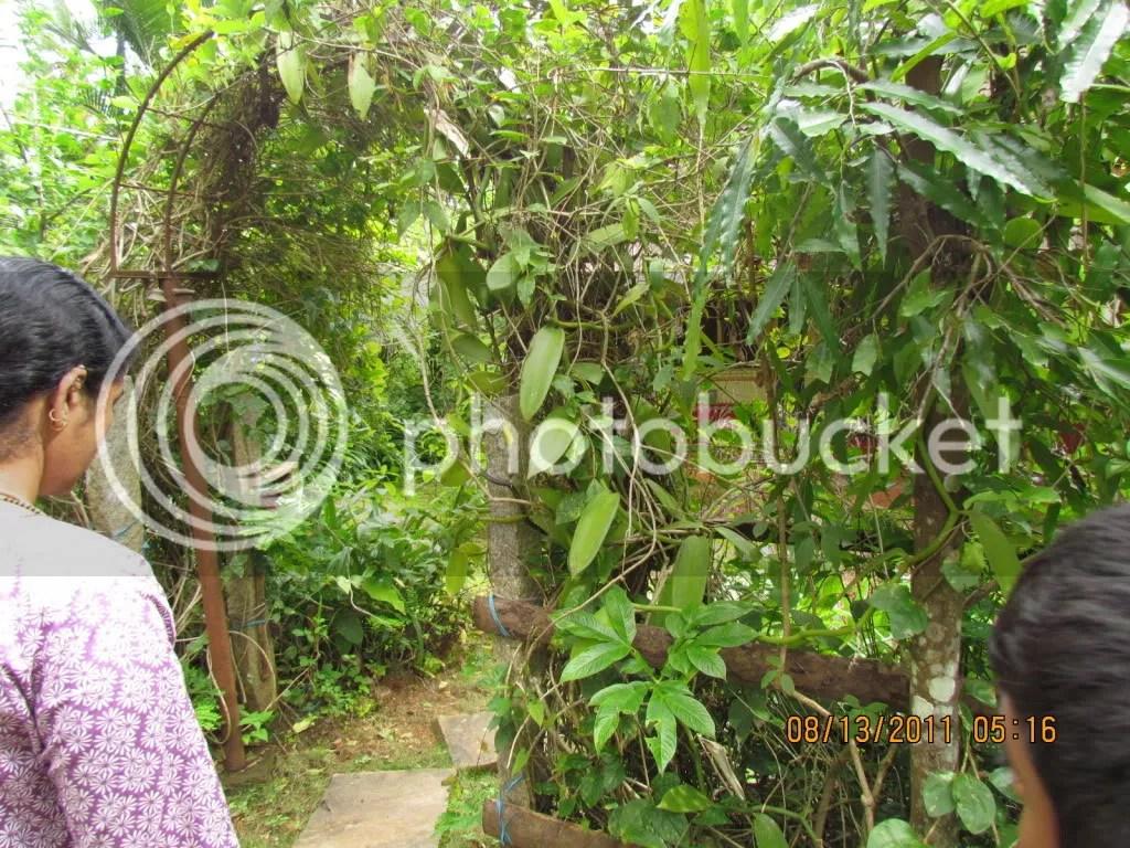 vanilla plant 130811 gudavi