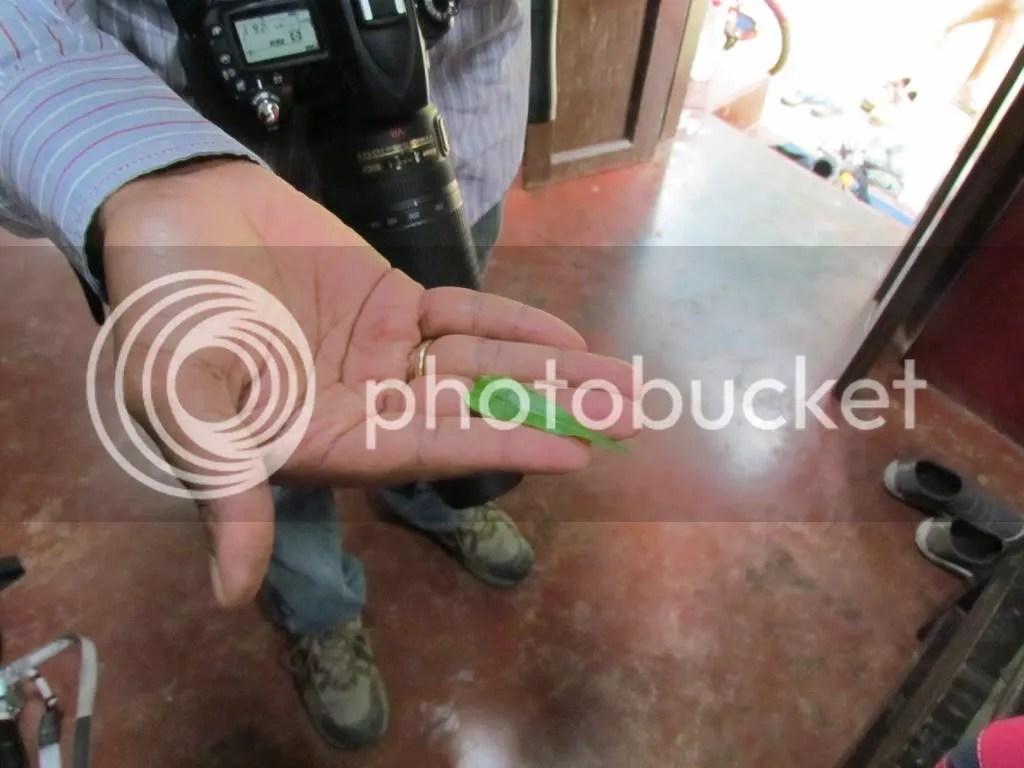 kattuka rANi leaf 130811