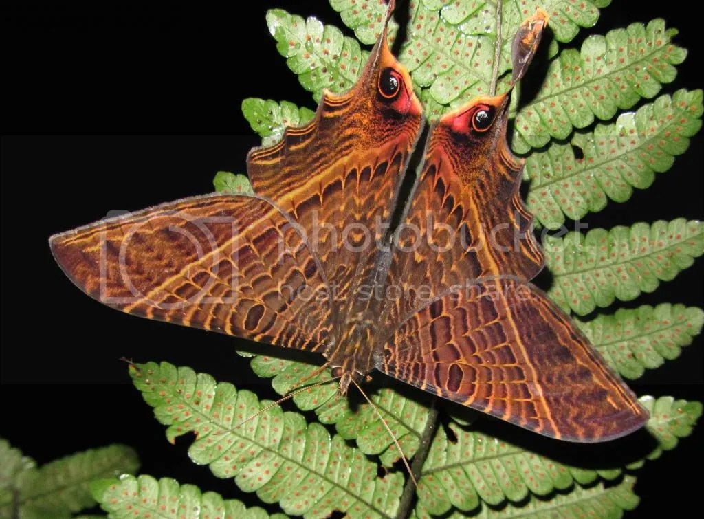 Lepidopteran with eyespots in Costa Rica