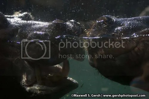 Hippo fight close Maxwell S. Gersh