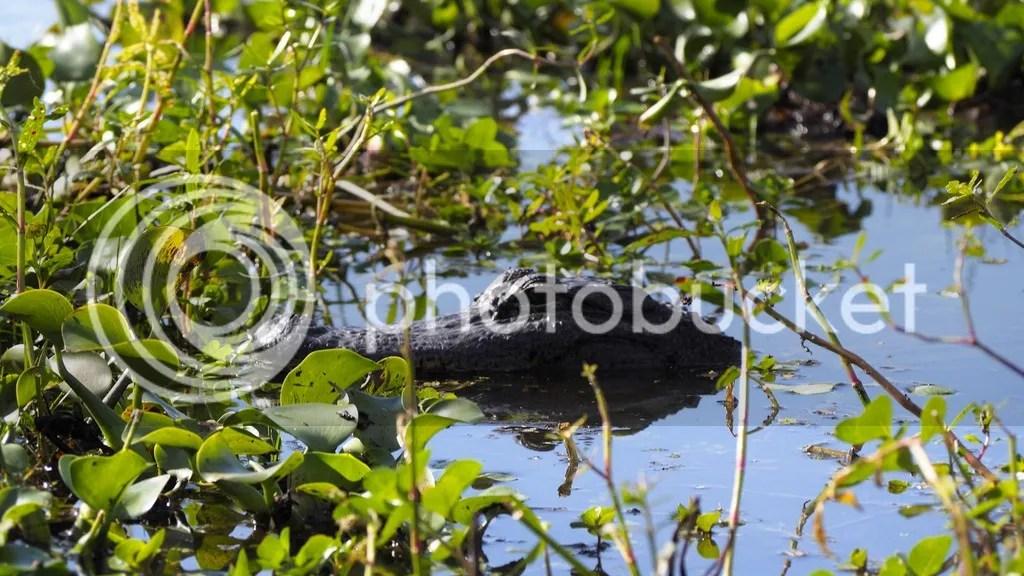 photo Alligator_2_zpsb3wuaqjx.jpg