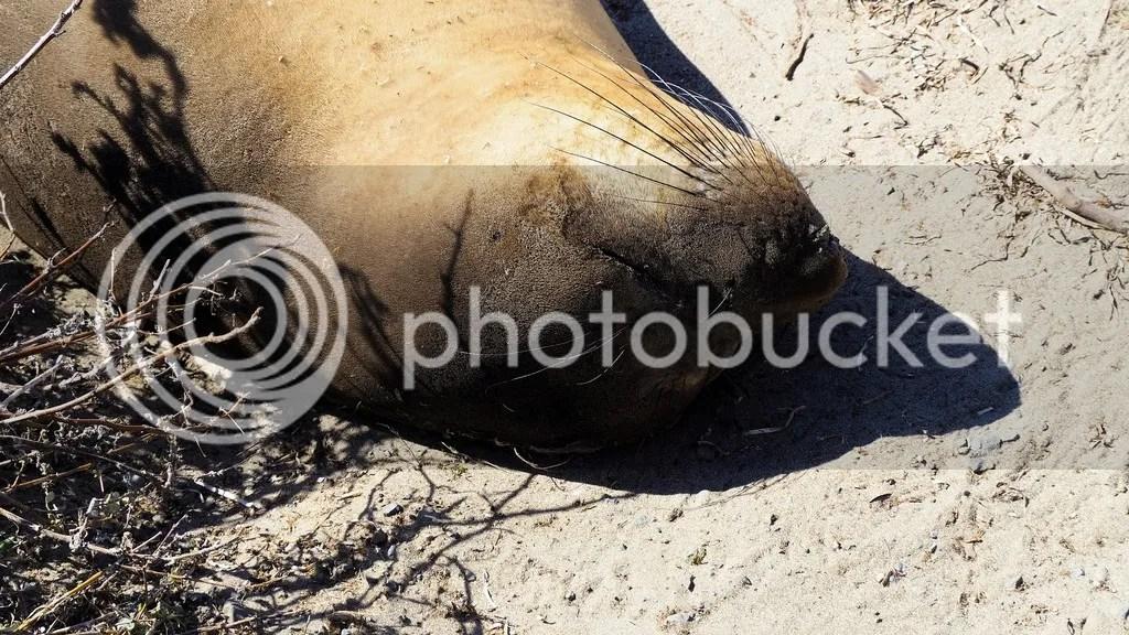 photo Elephant_Seal_2_zpssogwe2oq.jpg