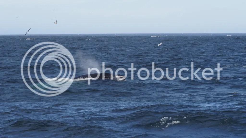 photo Humpback_Whale_1_zpswi2ueuke.jpg