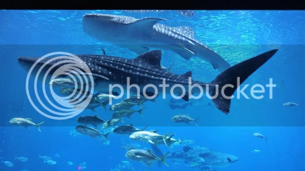 photo Whale_Shark_zps8flf6ztd.jpg