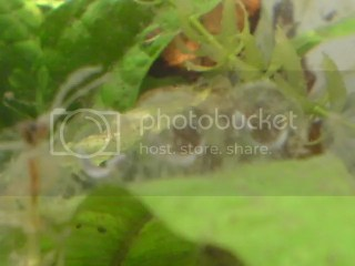 Axolotl eggs