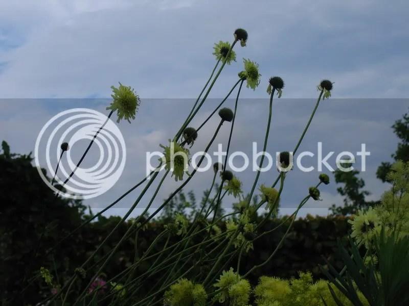 cephalaria gigantea,