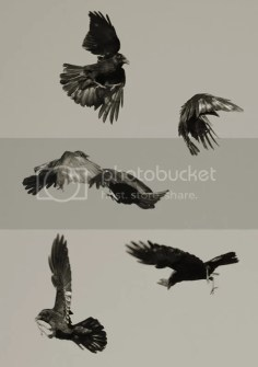 crows Pictures, Images and Photos