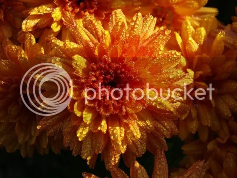 photo crizantema 1.jpg
